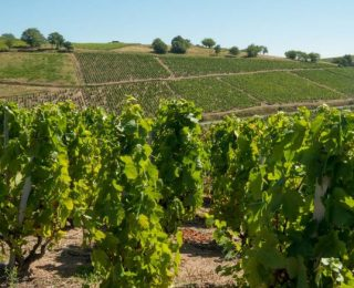 verdicchio-vino-delle-marche